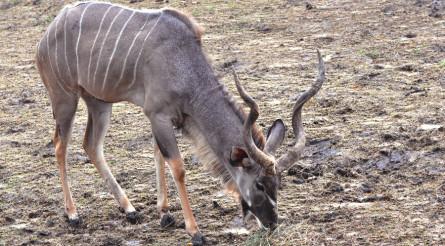 Kudo Antelope