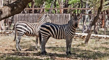 Exotics-Zebras
